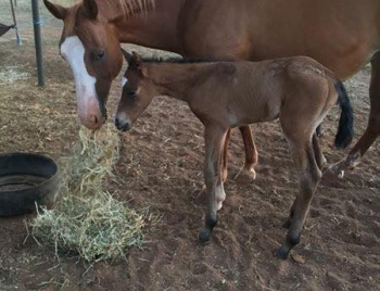 Foal by Cayuse Xxtra Grand